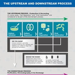 Check out this infographic for an outline of upstream and downstream processing. The upstream process includes production and harvesting, and the downstream process consists of purification, chromatography, and ion exchange.